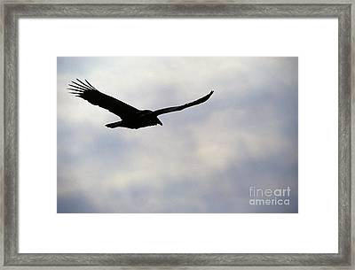Silhouette Of A Turkey Vulture  Framed Print by Erin Paul Donovan
