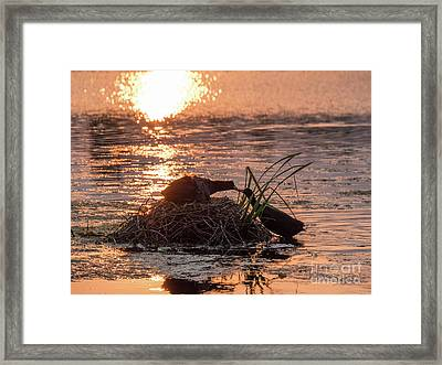 Framed Print featuring the photograph Silhouette Of Nesting Coots - Fulica Atra - At Sunset On Golden Po by Paul Farnfield