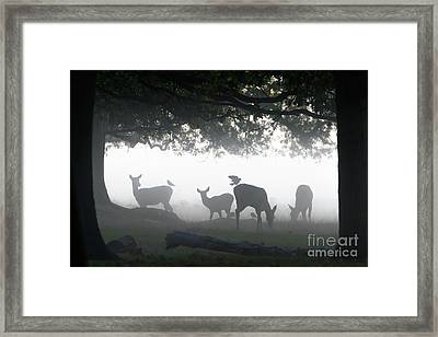 Framed Print featuring the photograph Silhouette Of Red Deer - Cervus Elaphus -  Hinds Or Females Grazin by Paul Farnfield