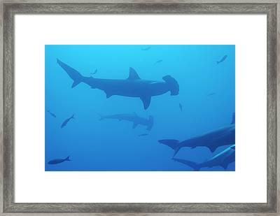 Silhouette Of Scalloped Hammerhead Sharks Framed Print by Sami Sarkis