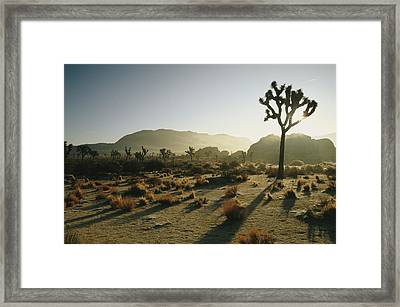 Silhouetted Joshua Trees At Twilight Framed Print by Kate Thompson