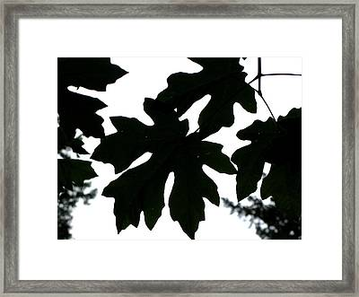 Silhouetted Maple Framed Print by PJ  Cloud