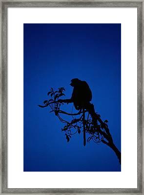 Silhouetted Proboscis Monkey Nasalis Framed Print by Mattias Klum