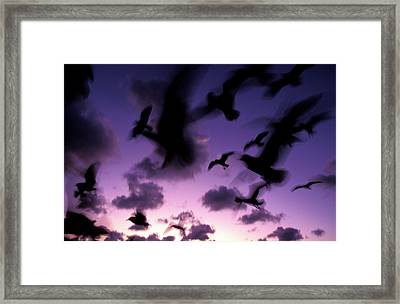 silhouettes of airborne seagulls at Twilight,  1996 Framed Print