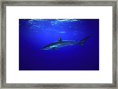 Silky Shark Framed Print