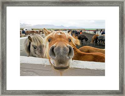 Silly Icelandic Horse Framed Print
