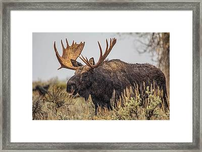 Framed Print featuring the photograph Silly Moose  by Kelly Marquardt