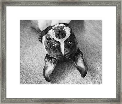 Silly Upside Down Boxer Dog Framed Print by Stephanie McDowell