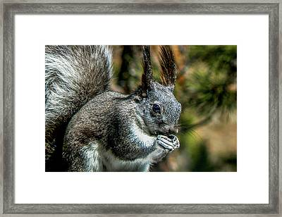 Silver Abert's Squirrel Close-up Framed Print by Marilyn Burton