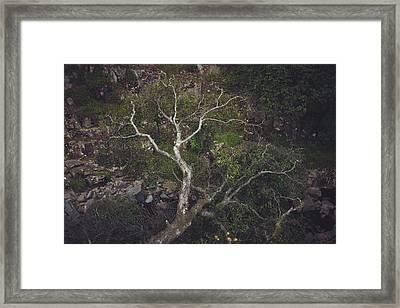 Silver Birch Framed Print