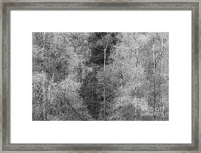 Silver Birch Monochrome Framed Print