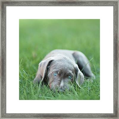 Silver Lab Puppy Framed Print by Laura Ruth