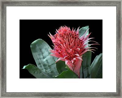 Silver Vase Bromeliad Framed Print