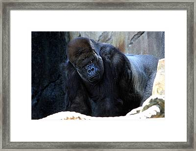 Silverback Kibabu Rules His Kingdom Framed Print