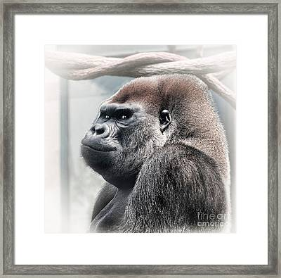 Silverback Lowland Gorilla Checking You Out Framed Print by Linda Matlow