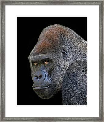 Silverback Lowland Gorilla Framed Print