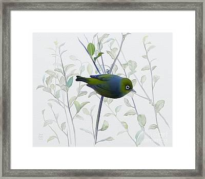 Silvereye Framed Print