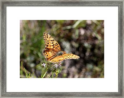 Silvery Checkerspot Butterfly On Wildflower 2 Framed Print by Sheila Brown