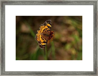Silvery Checkerspot Butterfly Framed Print by Sheila Brown