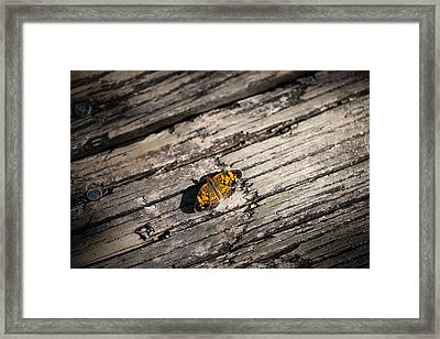 Pearl Crescent, Phyciodes Tharos Framed Print by Christy Cox