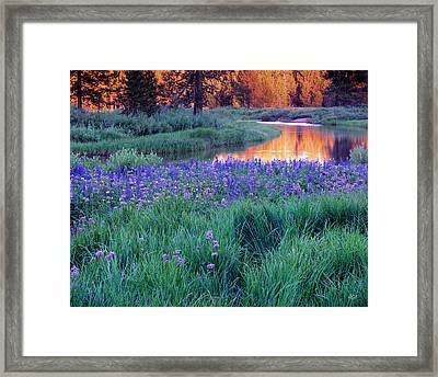 Silvery Lupine Framed Print