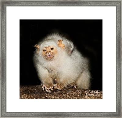 Silvery Marmoset Female Framed Print by Gerard Lacz