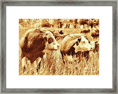 Simmental Bull 3 Framed Print by Larry Campbell