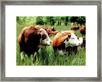 Simmental Bull And Hereford Cow Framed Print by Larry Campbell