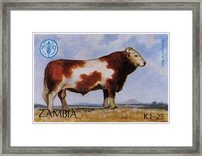 Simmental Bull Framed Print