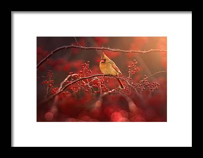 Cardinal Framed Prints