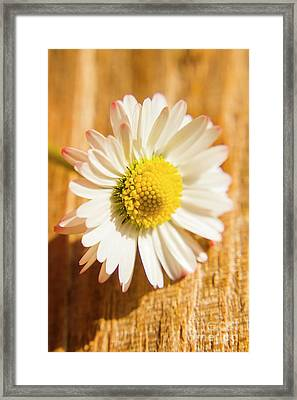 Simple Camomile  In Sunlight Framed Print