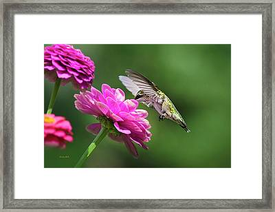 Framed Print featuring the photograph Simple Pleasure Hummingbird by Christina Rollo