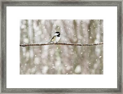Sing Chickadee Sing Framed Print