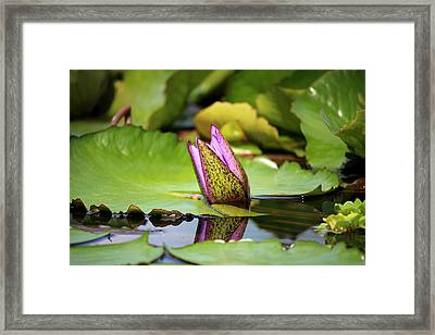 Singapore Bloom Framed Print