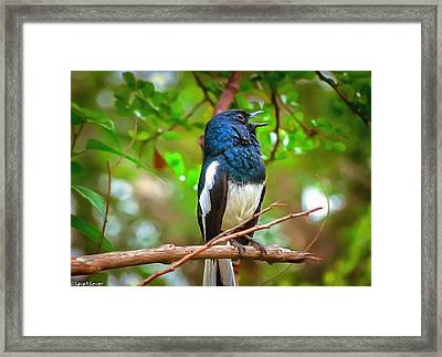 Singing Ceylonese Robin-magpie Framed Print