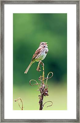 Singing Song Sparrow Framed Print by Jennifer Nelson