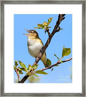 Singing Vireo Framed Print
