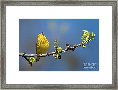Singing Yellow Warbler Framed Print