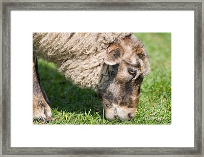 Single Adult Sheep Eating Grass Head Detail  Framed Print by Arletta Cwalina