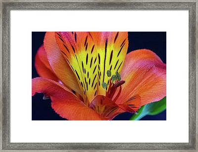 Single Alstroemeria Inca Flower-1 Framed Print