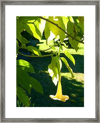 Single Angel's Trumpet Framed Print