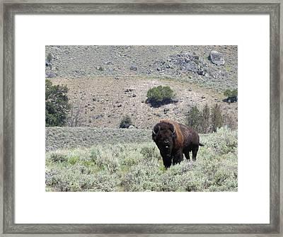 Single Bison Framed Print by Laurel Powell