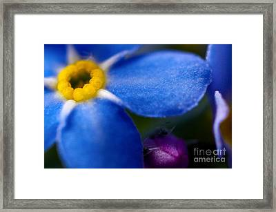 Single Blue Wood-forget-me-not Framed Print by Ryan Kelly