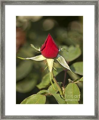 Single Bright Red Rose Bud Framed Print by Mark Hendrickson