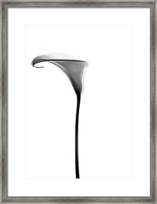 Single Cala Tall Black And Whte Framed Print by Rebecca Cozart