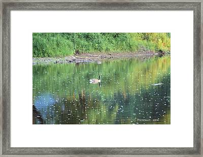 Single Canadian Goose Framed Print by Carolyn Postelwait