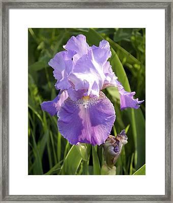 Single Iris In Bloom Framed Print by George Ferrell
