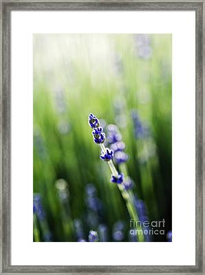 Single Lavender Framed Print