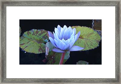 Single Lotus Blossom Framed Print