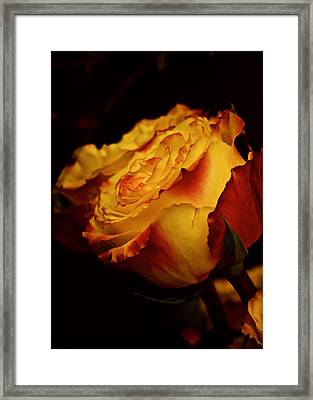 Framed Print featuring the photograph Single March Vintage Rose by Richard Cummings